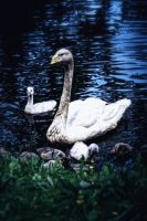 Swan Mother by demoshane