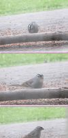 White-Crowned Sparrow (Zonotrichia leucophrys) by Windthin