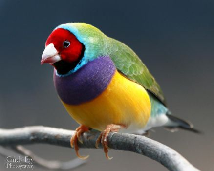 Gouldian Finch by lost-nomad07