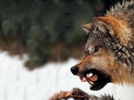 MAD WOLF  -  please read by TheGuardianW0lf