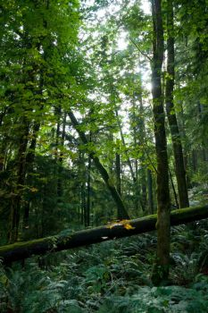 Deep in the Forest on Cougar Mountain by mybearjana