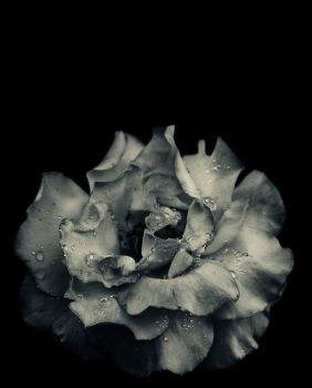 Rose 1 by hypnos