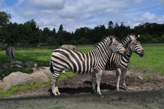 Zebras: Together by MalouMagnificent