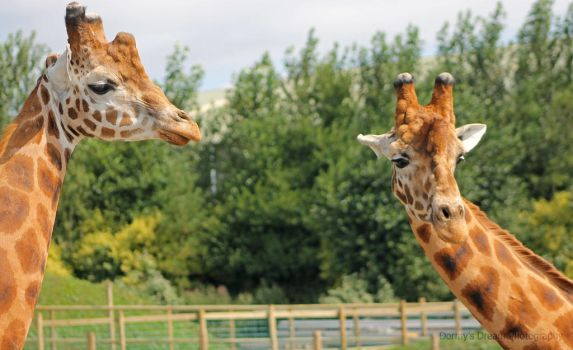 Two Giraffes Together. by DormysDreamPhotos
