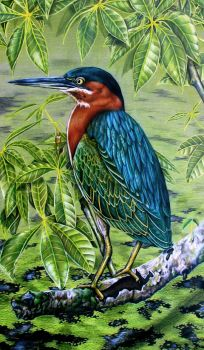 Green Heron by JacquelineRae