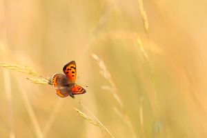 Butterfly in Gold by thrumyeye
