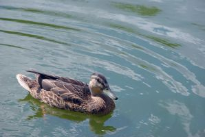 Duck - 2 by Tempting-Resources