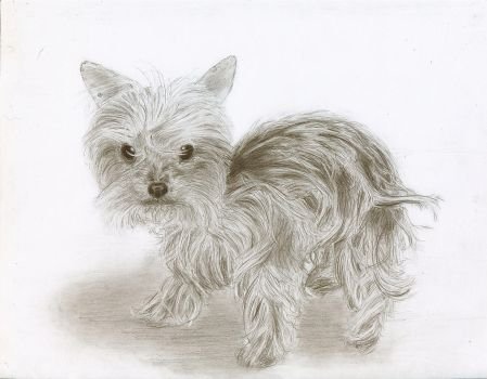 Yorkie 1 - Finished and touched up by ChristianCowgirl116