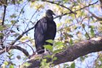 Costa Rican Vulture on Branch by AndySerrano