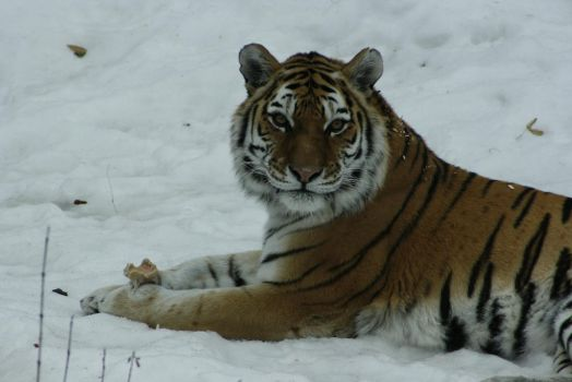 Amur Tiger 4 by CastleGraphics