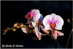 Phalaenopsis by CecilyAndreuArtwork
