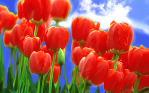 Tulips_1 by sagorpirbd