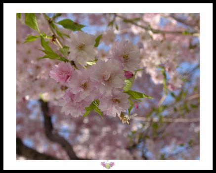 Cherry Blossoms by anjicle