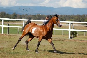 GE arab pinto canter sidefront view by Chunga-Stock