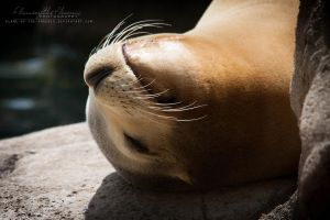 California Sea Lion: Relaxation by Flame-of-the-Phoenix