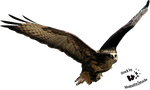 Cut-out stock PNG 28 - flying eagle by Momotte2stocks