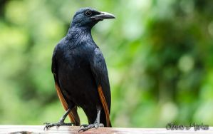 Nosey Starling by AnneMarks