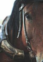 draft horse by silvena