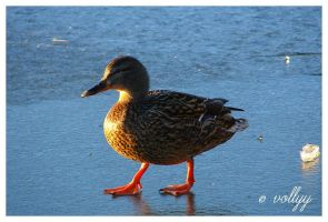 Duck . by vollyy