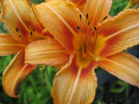 Daylily Duo by HarrisGraber