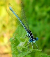 dragonfly 2 by florina23