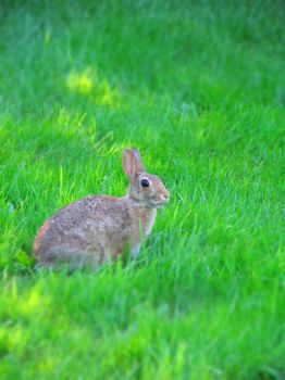 Peter Cotton Tail by HobarBritt