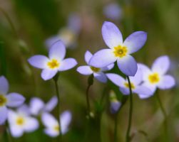 Bluets by barcon53