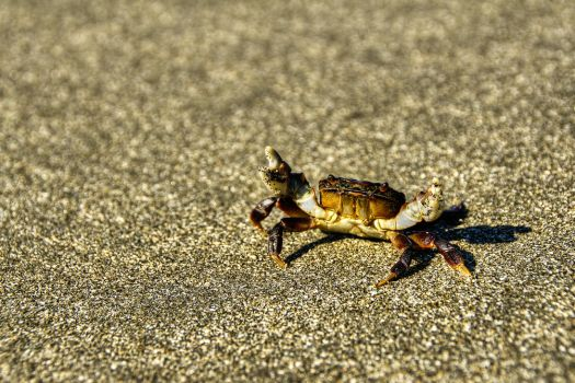 Small Crab by elpez7