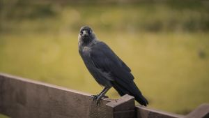 Mr. Crow by JonathanDanette
