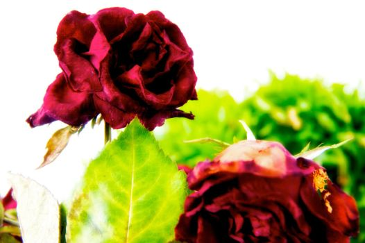 Dry Roses by janph76