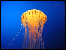 Jellyfish by Wainson