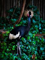 Crested Crane by niksi13