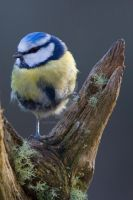 Perched Blue Tit by naturelens