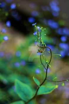 Anchusa capensis by Stringedheart