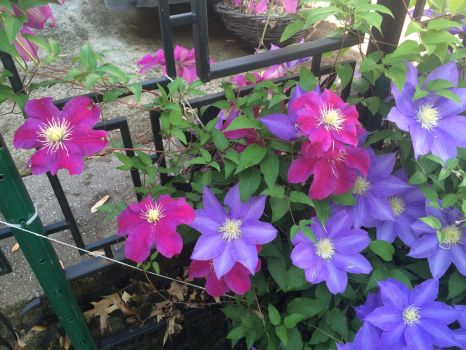 Clematis flowers in the backyard by RLN