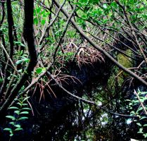 Mangrove Swamp at Mantatee Viewing Center by RobMitchem