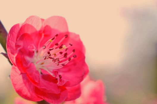 Moar peach blossoms by Lodchen-Photography