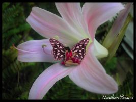 Pink Fairy by Heather-Briana