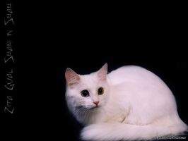 Turkish Angora Wallpaper 2 by sindrome