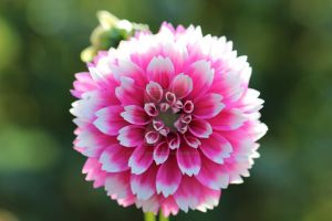 pink and white dahlia by Wandering-Chaos