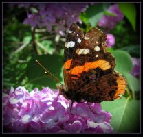 Butterfly On The Lilac - Red Admiral by JocelyneR