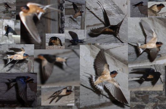 Barn Swallow Stock by galianogangster
