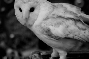 Little barn owl by dolcesunset