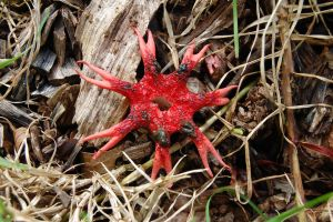 Starfish Stinkhorn by Forest-Imp